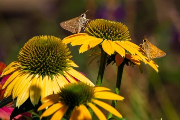 Sonnenhut Pflanze – Wissenswertes und Pflege Tipps rund um den Sommerblüher gelb blumen hübsch