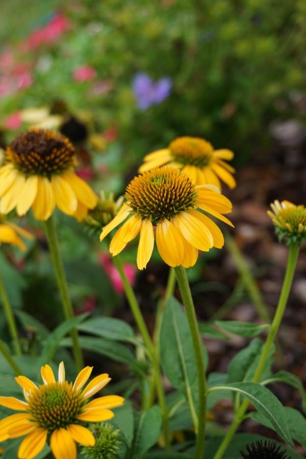 Sonnenhut Pflanze – Wissenswertes und Pflege Tipps rund um den Sommerblüher gelb hübsch sommer