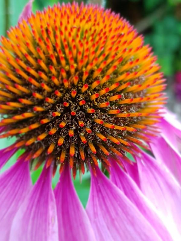 Sonnenhut Pflanze – Wissenswertes und Pflege Tipps rund um den Sommerblüher lila echinacea