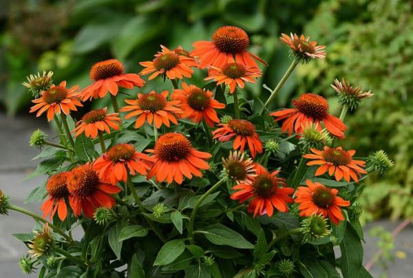 Sonnenhut Pflanze – Wissenswertes und Pflege Tipps rund um den Sommerblüher orange blüten sorte