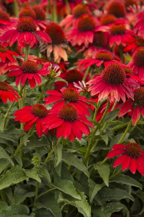 Sonnenhut Pflanze – Wissenswertes und Pflege Tipps rund um den Sommerblüher rote sorte intensiv