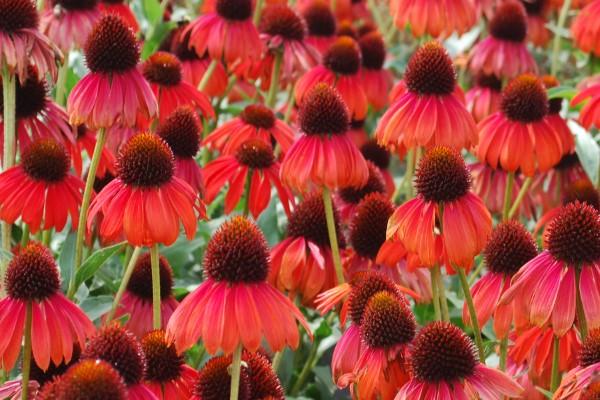 Sonnenhut Pflanze – Wissenswertes und Pflege Tipps rund um den Sommerblüher rote sorten für sommergarten