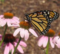 Sonnenhut Pflanze – Wissenswertes und Pflegetipps rund um den Sommerblüher