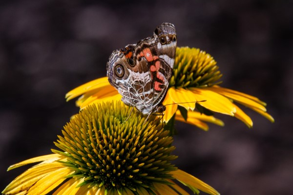 Sonnenhut Pflanze – Wissenswertes und Pflege Tipps rund um den Sommerblüher schmetterling gelbe blüte