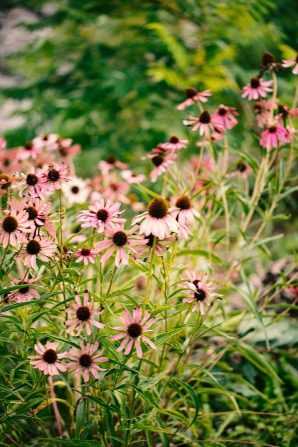 Sonnenhut Pflanze – Wissenswertes und Pflege Tipps rund um den Sommerblüher sommergarten echinacea