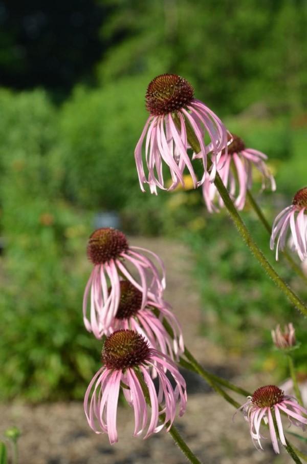 Sonnenhut Pflanze – Wissenswertes und Pflege Tipps rund um den Sommerblüher sorte dünn lang