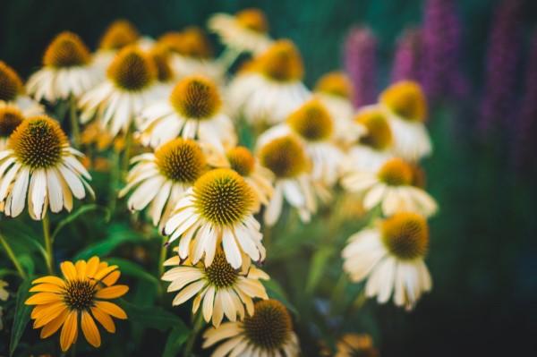 Sonnenhut Pflanze – Wissenswertes und Pflege Tipps rund um den Sommerblüher weiße creme blumen echinacea