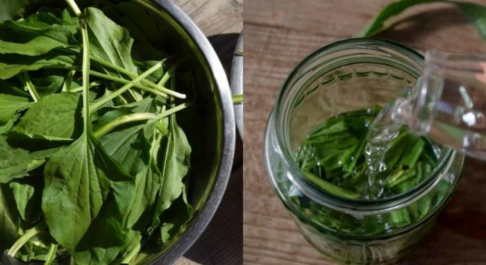 Spitzwegerich Salbe, Tee oder Hustensaft zubereitung