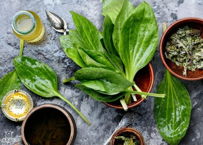 Spitzwegerich Tee oder Hustensaft salbe zubereitung kräuterküche