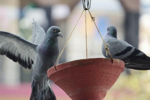 """Tauben vertreiben – so gewinnen Sie im Kampf gegen die """"Luftratten"""" hängende töpfe nest"""