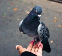 """Tauben vertreiben – so gewinnen Sie im Kampf gegen die """"Luftratten"""""""