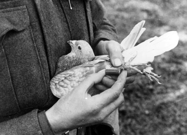 """Tauben vertreiben – so gewinnen Sie im Kampf gegen die """"Luftratten"""" taubenpost geschichte weltkrieg"""