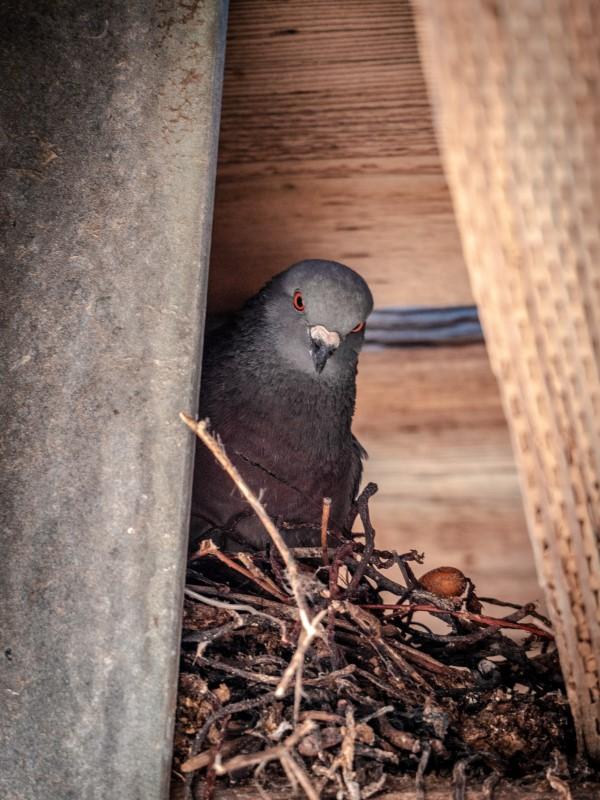"""Tauben vertreiben – so gewinnen Sie im Kampf gegen die """"Luftratten"""" vogelnest stadttauben eier ideen"""