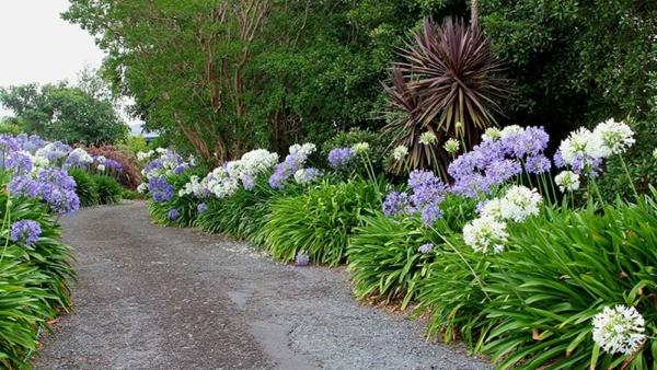 afrikanische schmucklilie garten gestalten sommer gartenpflanzen