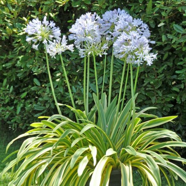 afrikanische schmucklilie garten sommer gestalten ideen