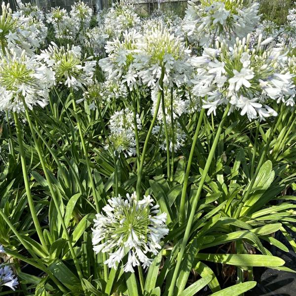 afrikanische schmucklilie große dimmensionen schöne blüten