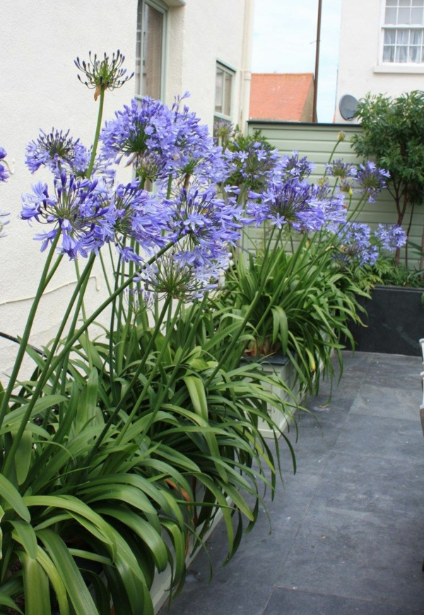 afrikanische schmucklilie hinterhof gestalten große gartenblumen