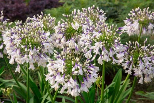 afrikanische schmucklilie schöne schmuckpflanzen garten gestalten sommer