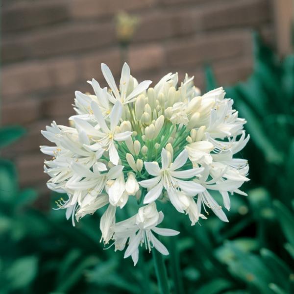 afrikanische schmucklilie weiß frischer garten sommer ideen