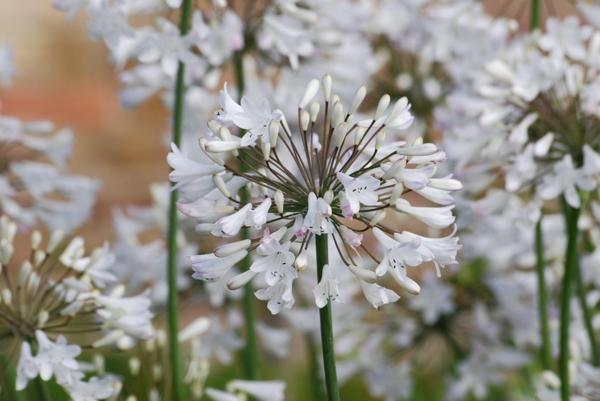 afrikanische schmucklilie weiß zarte gartenblumen sommer
