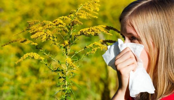 allergie ambrosia pflanze