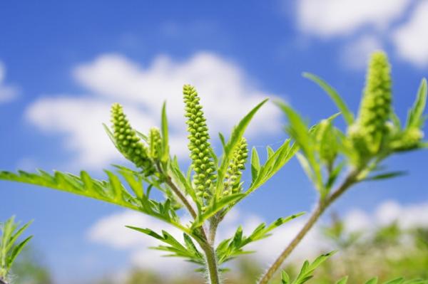 ambrosia pflanze allergie tipps