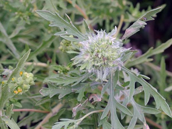 ambrosia pflanze gefährlich