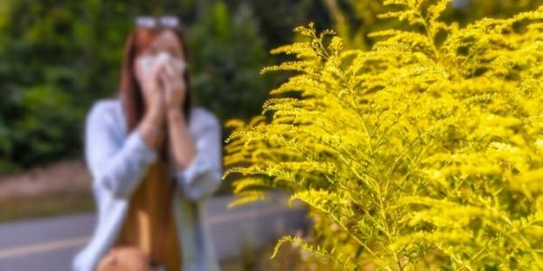 ambrosia pflanze pollen allergie