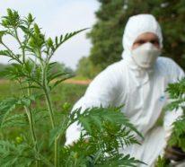 Ambrosia Pflanze – eine invasive Exotin, die schwere Allergien verursacht