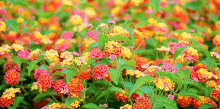 bodendecker die den ganzen sommer blühen beispiele feuerrot