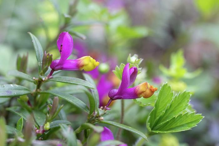 bodendecker die den ganzen sommer blühen buchs kreuzblume