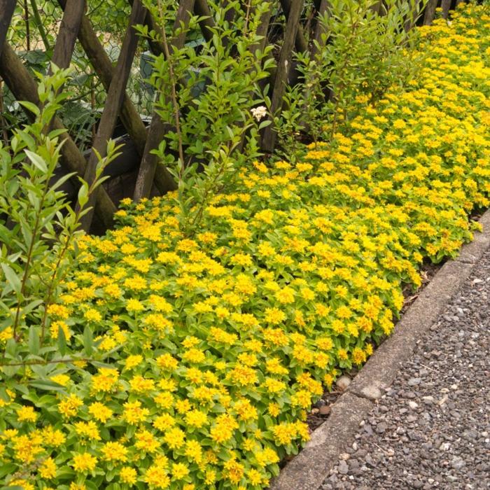bodendecker die den ganzen sommer blühen fetthennen