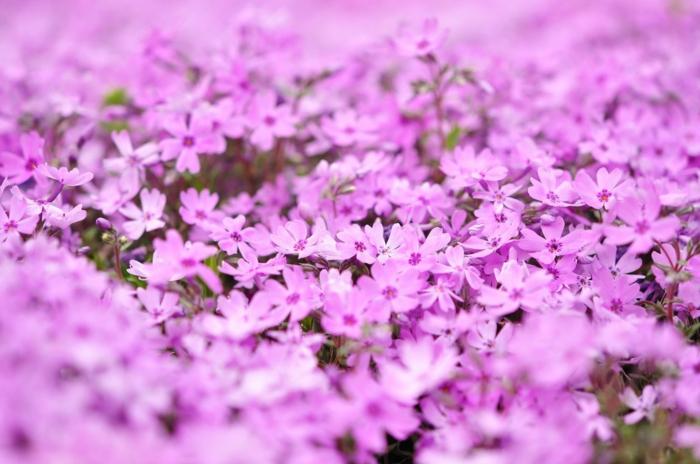 bodendecker die den ganzen sommer blühen grasnelken fechedeckend