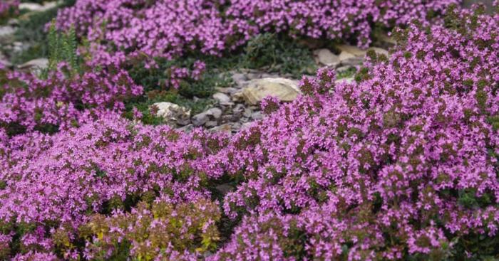 bodendecker die den ganzen sommer blühen grasnelken