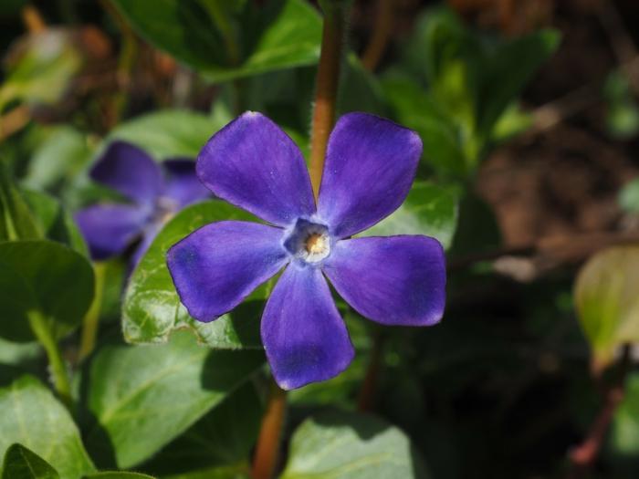 bodendecker die den ganzen sommer blühen kleines immergruen