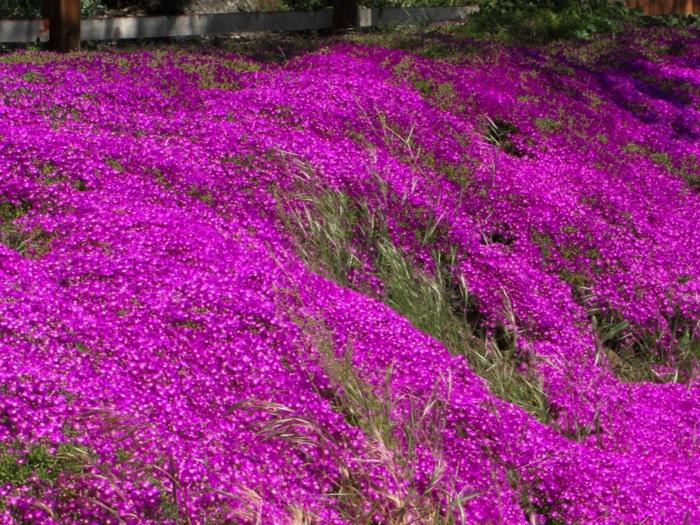 bodendecker die den ganzen sommer blühen lampranthus