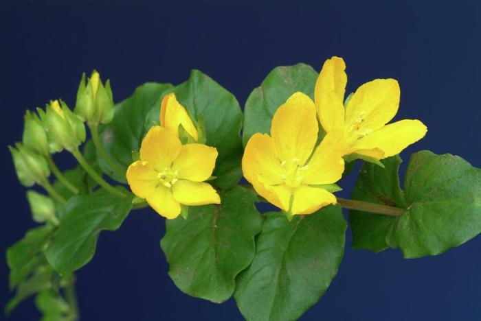 bodendecker die den ganzen sommer blühen pfennigkraut