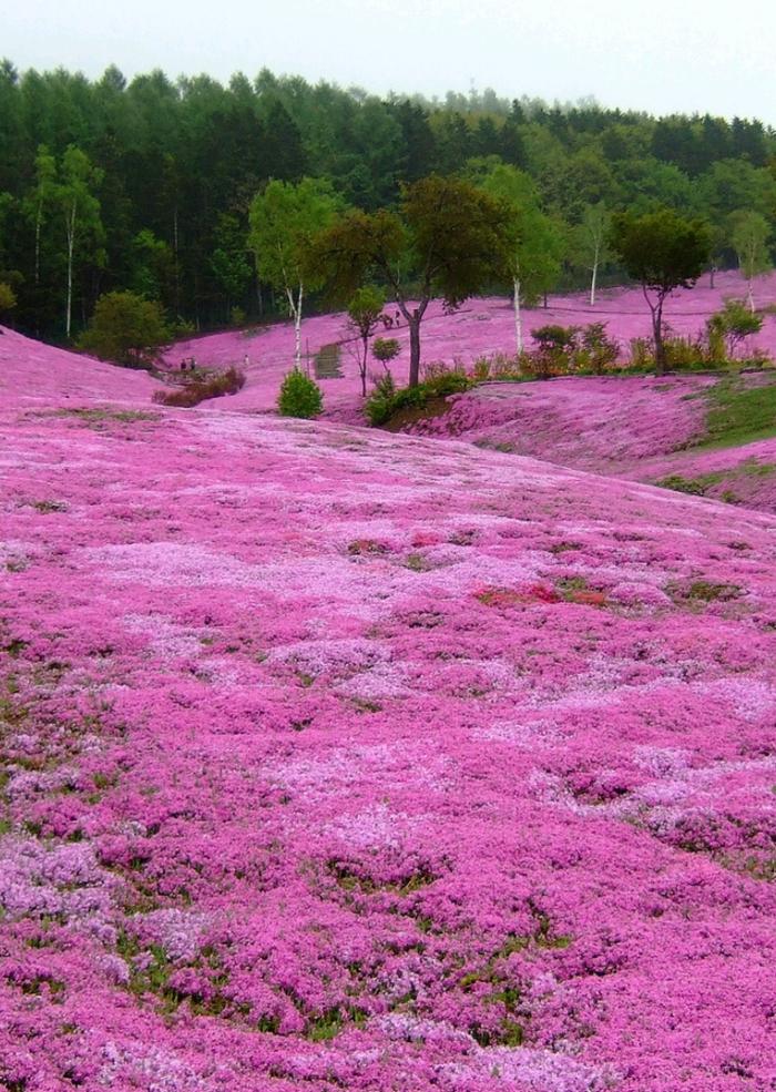bodendecker die den ganzen sommer blühen polsterphlox