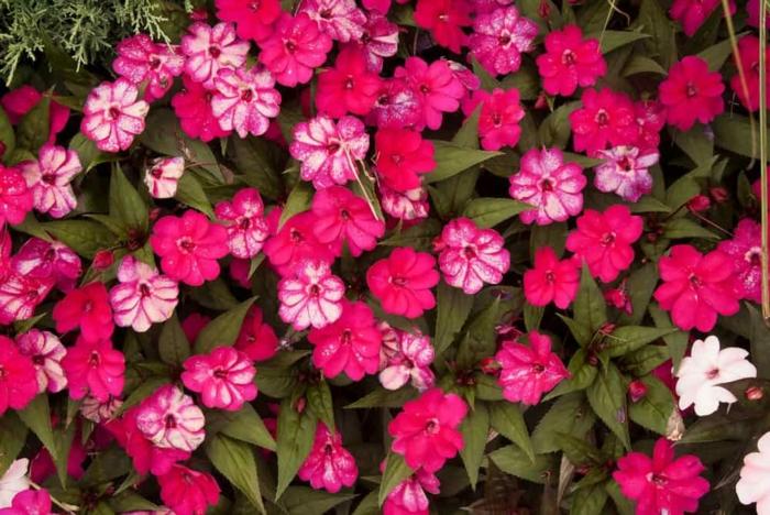 bodendecker die den ganzen sommer blühen seifenkraut