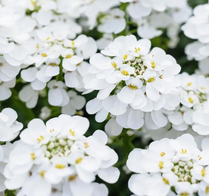 bodendecker die den ganzen sommer blühen weiss