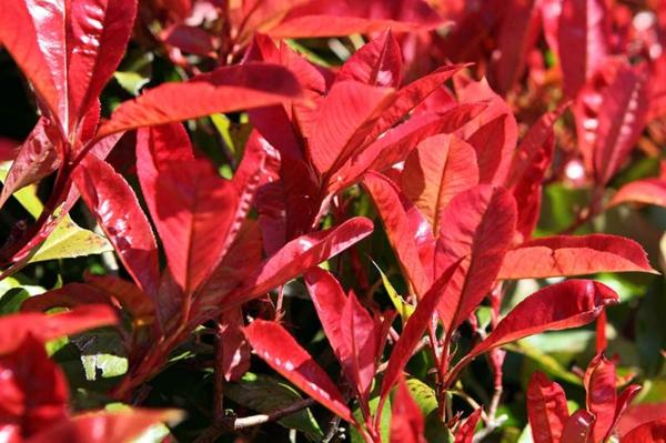 glanzmispel gartenpflanzen gartenhecke photinia schöne verfärbung