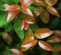 Glanzmispel für Ihre schöne immergrüne Gartenhecke