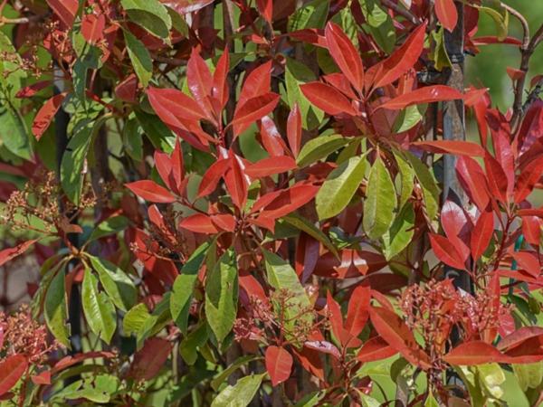 glanzmispel sichtschutz rote verfärbung schöne gartendeko