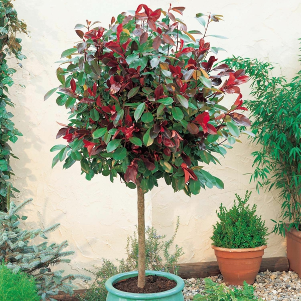 glanzmispel solitärpflanze attraktiver hausbaum