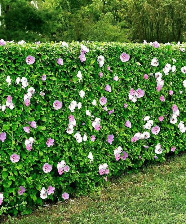 hibiskus hecke blühende hecke garten gestalten ideen sommer