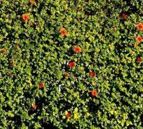 Die Hibiskus Hecke – Ein blühender Sichtschutz für den Garten