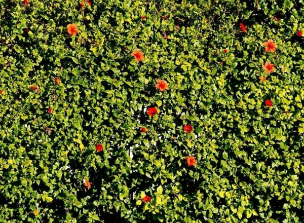 hibiskus hecke blühende heckenpflanzen garten gestalten ideen