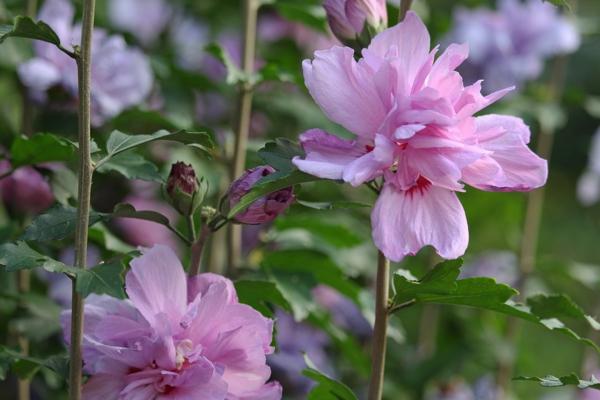 hibiskus hecke blühender gartenstrauch heckenpflanzen