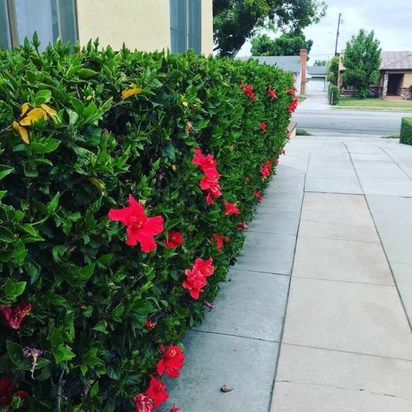 hibiskus hecke frische gartenideen garten gestalten sommer