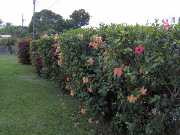 hibiskus hecke gestalten pflege tipps